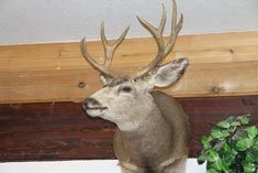 5 Point Mule Deer Mount.2