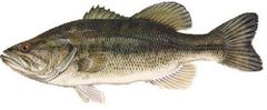 1,500 live Largemouth Bass for sale Shipping may or June 2019