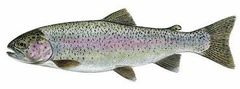 8 Live Rainbow trout (Triploid can not reproduce) for immediate delivery