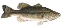 75 live largemouth bass (Micropterus salmoides) Shipping may 2019