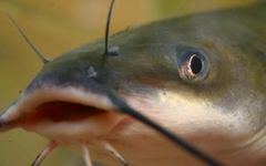 8 Live Channel Catfish (Ictalurus punctatus) for sale shipping now via USPS
