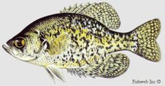 100 live Crappie males and females for stocking your pond or Aquaponics