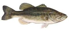 75 Live largemouth bass (Micropterus salmoides) Shipping April or May 2019