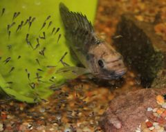 60 Tilapia males and females for sale