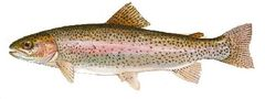 24 Live and swimming Rainbow trout for immediate delivery