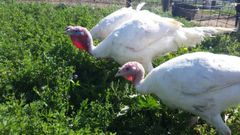 Turkey Deposit (Broad Breasted White)