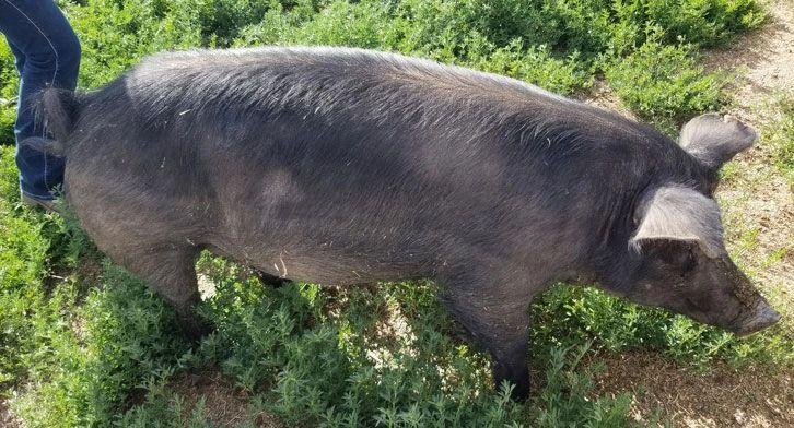 pasture raised pigs walking