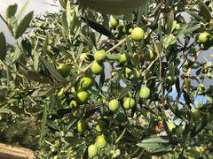 CRUDO Ogliarola UP EVOO (Mild- Puglia,Italy) Nov 2017