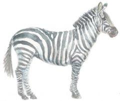 12 Printed Zebra Cards