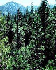 49 Balsam & Cedar Small Spray