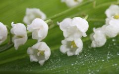 108 Lily of the Valley Large Refresher Spray