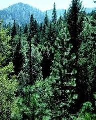 49 Balsam & Cedar Dram Oil
