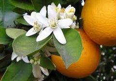 81 Orange Blossom Small Spray