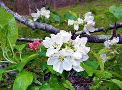 46 Apple & Orange Blossom Small Spray