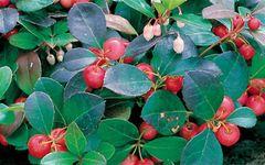 68 Wintergreen Medium Gel