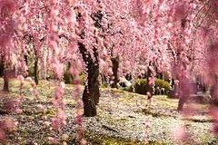 72 Japanese Cherry Blossom Small Spray