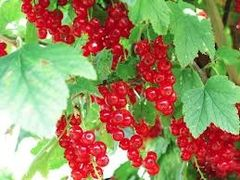 94 Red Currant Small Spray