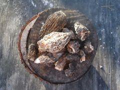 Morel Mushroom, Dried