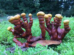 Red Reishi Mushroom Extract