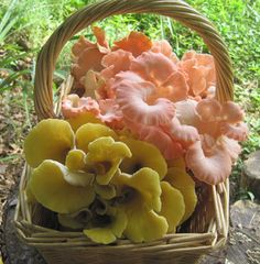"""Oyster """"Golden"""" Plugs - (Pleurotus citrinopileatus)"""