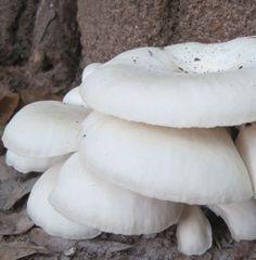 """Oyster """"White"""" - (Pleurotus ostreatus) - 5lb"""