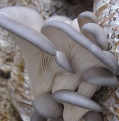 "Oyster ""Warm blue"" Plugs - (Pleurotus ostreatus)"