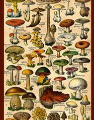Mushrooms Galore Postcard