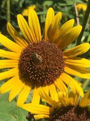 Sunflower Flower Essence 1/2 oz.