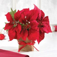 Everlasting Poinsettia in Burlap Wrap