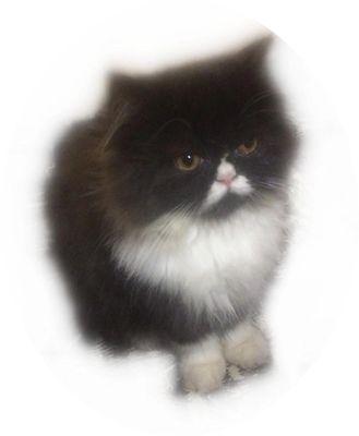 Tiny Persian and Himalayan Snowshoe Kittens