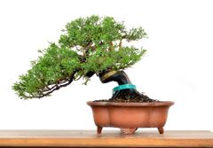 Juniper Itoigawa 7 1/2' Bonsai