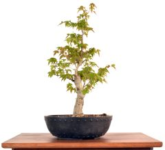 "Trident Maple 15"" Tall Bonsai"