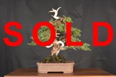 "Itoigawa Juniper 10"" Tall Bonsai"