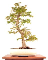 "Trident Maple 22 3/4"" Tall Bonsai"