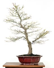 "Japanese Maple 25"" Tall Bonsai"