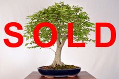 "Zelkova 20"" Tall Bonsai"
