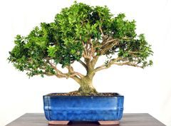 "Morris Dwarf Boxwood 12"" Tall Bonsai"