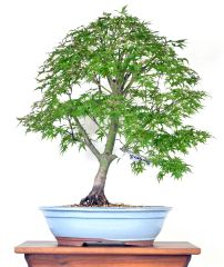 "Japanese Maple ""Sharps Pygmy"" Maple 21"" Tall Bonsai"