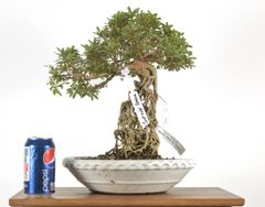"Satzuki Azalea (Exposed Root) 14"" Tall Bonsai"