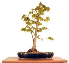 """Trident Maple 16"""" Tall Bonsai"""