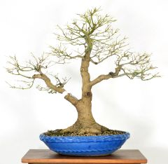 "Japanese Maple 21"" Tall Bonsai"