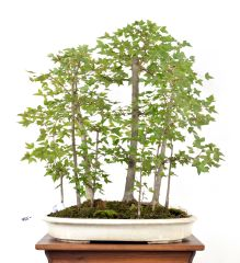 Trident Maple Forest 24""