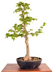 "Trident Maple 24"" Tall Bonsai"