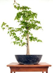 "Trident Maple 25"" Tall Bonsai"