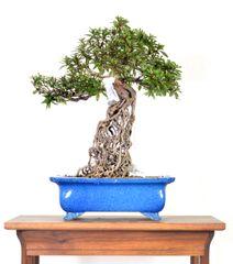 "Satzuki Azalea Hikari-no-Tsukasa (Exposed Root) 15"" Tall Bonsai"