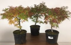 Workshop - Sharps Pygmy Japanese Maple Bonsai 3 Tree Forest