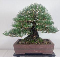 "Japanese Black Pine - 16"" Tall Bonsai"