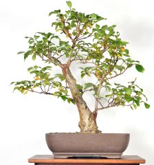 "Crape Myrtle 21"" Tall Bonsai"