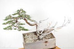 Rocky Mountain Juniper Bonsai - Yamadori