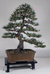 "Japanese Black Pine - Kotobuki - 23"" Tall Bonsai"
